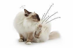 Katze vor der Flohbekämpfung